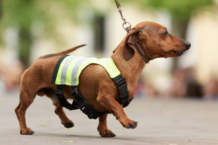 traffic warden: St. Petersburg, Russia - May 28, 2016: Dog in costume of traffic warden during Dachshund parade. The traditional festival is timed to the City day
