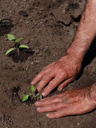 transplanting: Man transplanting tomato seedlings in springtime