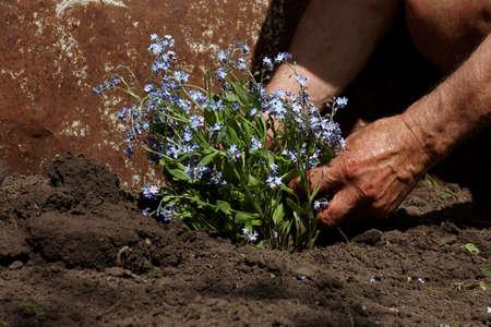 transplanting: Senior man transplanting flowers in his garden