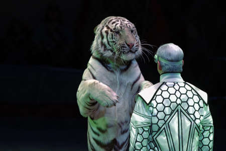nesterov: St. Petersburg, Russia - February 3, 2017: Sergey Nesterov and his trained white tigers in the dress rehearsal of the circus program CircUS 2.0. The program created in the Great Moscow Circus and reflects the vision of circus art of XXI century