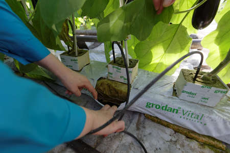soilless cultivation: St. Petersburg, Russia - March 31, 2017: Using hydroponics for growing eggplants in the greenhouse of agricultural company Vyborzhets. The company supply fresh vegetables to the city all year round