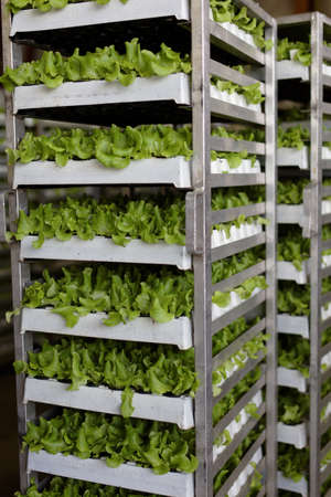 Rack with lettuce grown in disposable pots