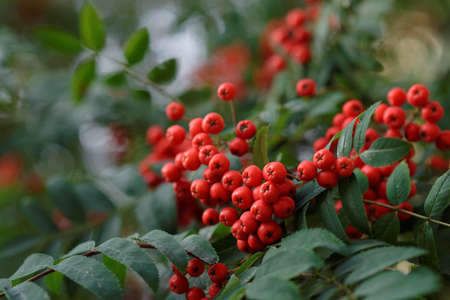 Mountain-ash fruits in lush foliage