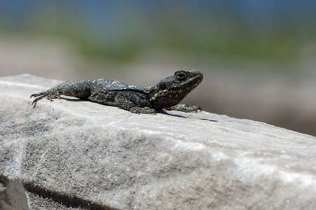 Lizard on a warm stone