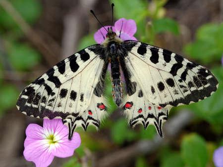 Allancastria cerisyi, Eastern Festoon butterfly on a flower in Dilek national park, Turkey. Selective focus on the butterfly Stock Photo