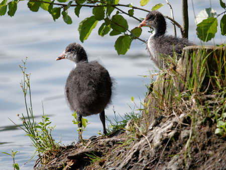 Juvenile of Eurasian coot bird on a lake shore