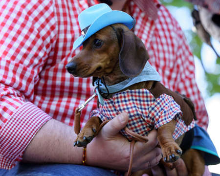 St. Petersburg, Russia - May 26, 2018: Dog in costume  during Dachshund parade. The traditional festival is timed to the City day