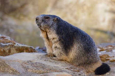 Alpine marmot sitting on a stone