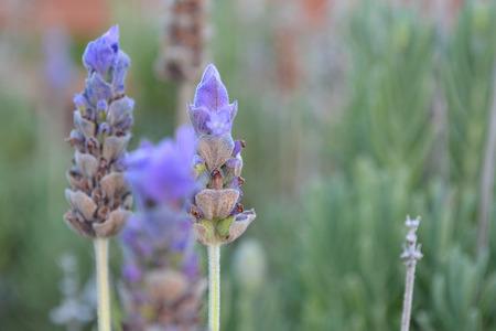 Lavender flower close up