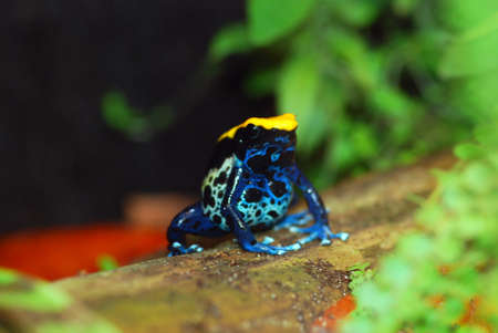 Brazilian poison dart frog. Black, yellow and blue. Stock Photo