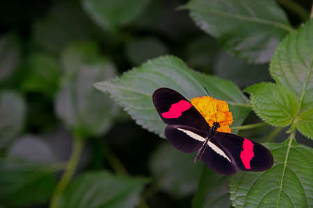 Red postman butterfly, casually sitting on a Lantana flower.