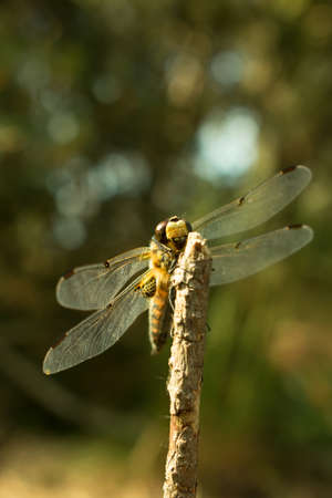 Four-spotted chaser dragonfly close-up. Stock Photo