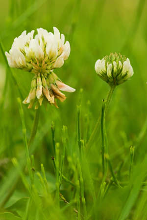 clovers: White Clovers, big and small