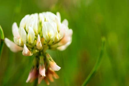 White Clover close-up