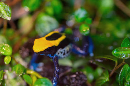 Brazillian poison dart frog in between the leaves. The frog is black, yellow and blue. (dendrobates tinctorius 'brazil')