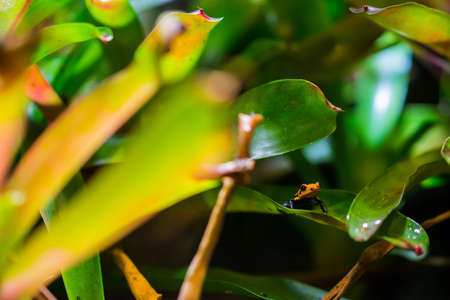 A mimic poison frog sitting on a leave. (Dendrobates imitator) Also known as Ranitomeya imitator or poison arrow frog. Stock Photo