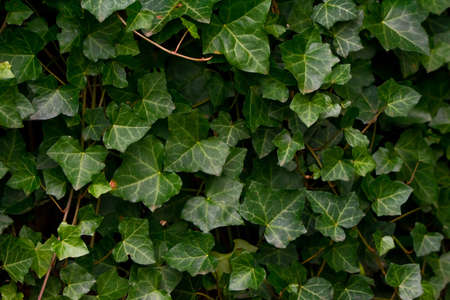 A wall of common ivy. Usuable as a background or texture. Also known as european ivy, english ivy or ivy. (Hedera helix)