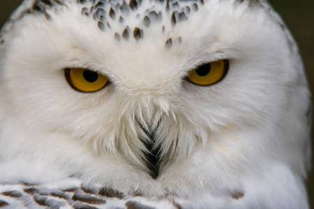 Closeup portrait of a snowy owl. (Bubo scandiacus)