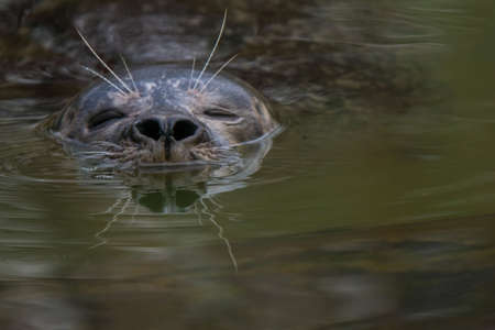 Closeup of a swimming earless seal. (Phocidae) Also known as true seal, crawling seal or phocid.