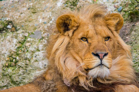Portrait of an west african lion looking into the distance. (Panthera leo leo) Stock Photo
