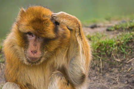 A barbary macaque scratching his head, looking like he's forgotten something. (Macaca sylvanus) Also known as barbary ape ot magot.