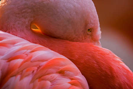 A chilean flamingo hiding its beak. (Phoenicopterus chilensis) Stock Photo