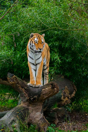 A siberian tiger standing on the trunk of a fallen tree. (Panthera tigris tigris). Also known as amur tiger.
