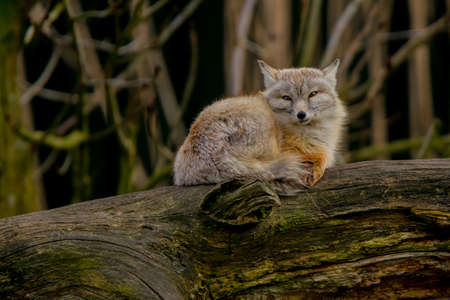 A corsac fox lying down on a tree trunk. (Vulpes corsac) Also known as corsac or steppe fox. Stock Photo