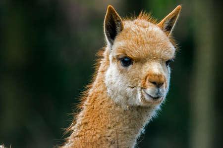 Portrait of a young vicuña. (Vicugna vicugna) Also known as vicugna.