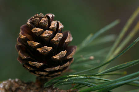 A closeup of a pine cone still attached to a tree. Kho ảnh