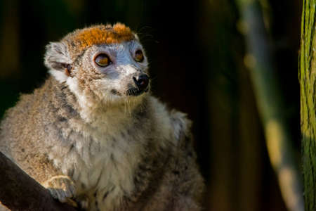 A crowned lemur looking longingly into the distance. (Eulemur coronatus)