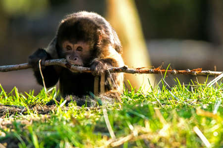 A golden-bellied capuchin monkey gnawing on a stick, also known as yellow-breasted capuchin or buffy-headed capuchin (Sapajus xanthosternos) 写真素材