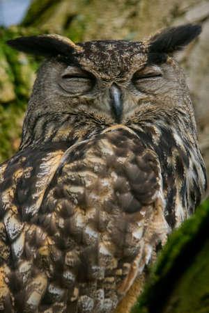 A portrait eurasian eagle-owl snoozing in a tree. Also known as European eagle-owl or eagle-owl. (Bubo bubo)