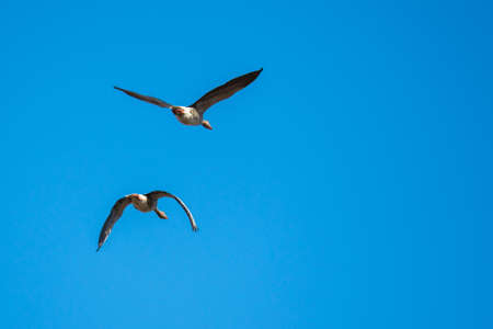 Two greylag geese in mid flight, against a stark blue sky. (Anser anser)