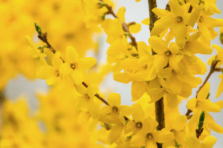 A Forsythia bush in full bloom showing its yellow flowers.