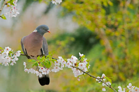 A common wood pigeon on the branch of a tree with blooming flowers (Columba palumbus).