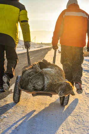 wise woman: UZYNGASH, KAZAKHSTAN - JANUARY 2: Pilgrims carry two sheeps to holy place called Ungurtas where local  wise woman (apashka) Bifatima Dauletova lives. These sheeps will be used for the ritual of pilgrims purification and recovery. Taken January 2, 201 Editorial