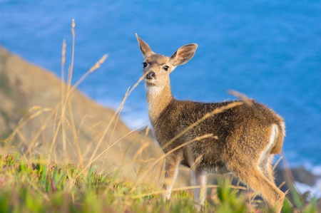 black tail deer: Black-tailed deer on coastline in California, USA