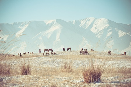 Horses feeding in mountains in winter photo