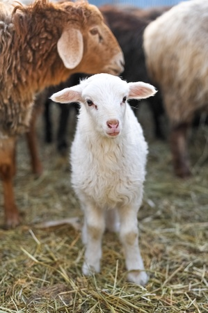 White lamb looking at the camera photo