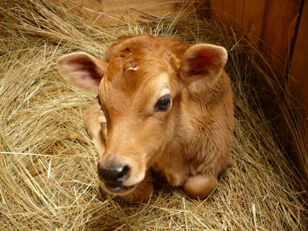 linda: Linda beef resting on his bed of straw. Stock Photo