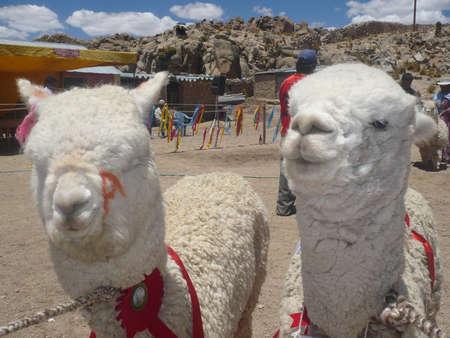 modeling: Exhibition of fine alpaca in a fair, alpaca modeling for resale.