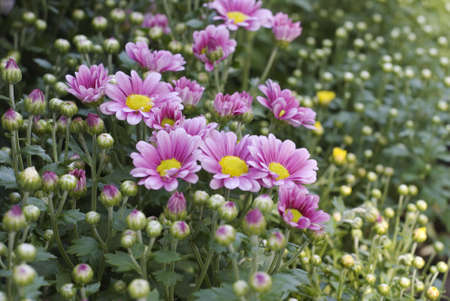 Very deeply colorful chrysanthemum are cute and lovely and taken this in Taiwan Flower show. Stock Photo - 4269939