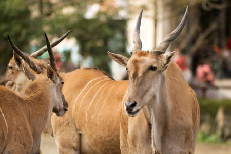 seemed: Common Eland is a kind of sheep in Africa, he was looking his partner and seemed so lovely and peace.