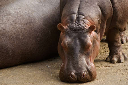 Hippo are conservation of rare wild animals. Because hot weather, he put his nose on the ground and looked lazy.