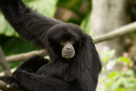 siamang: Siamang was endangered species of protected wild animals in Asian tropical rainforest. His innocent eyes looked at the direction of unknow was portrayal of wildlife future.