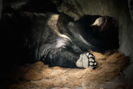 rare animal: Formosa black bear is a kind of rare animal in Taiwan. See, he sleeped so deeply liked baby. Stock Photo
