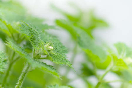 It is a beautiful plant with thorns called Stinging Nettle. photo