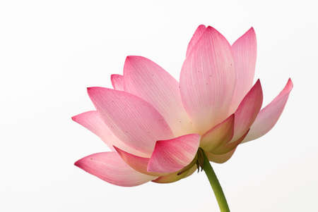 It is the beautiful lotus flower photo. photo