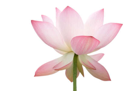 blooming. purple: It is the beautiful lotus flower photo. Stock Photo